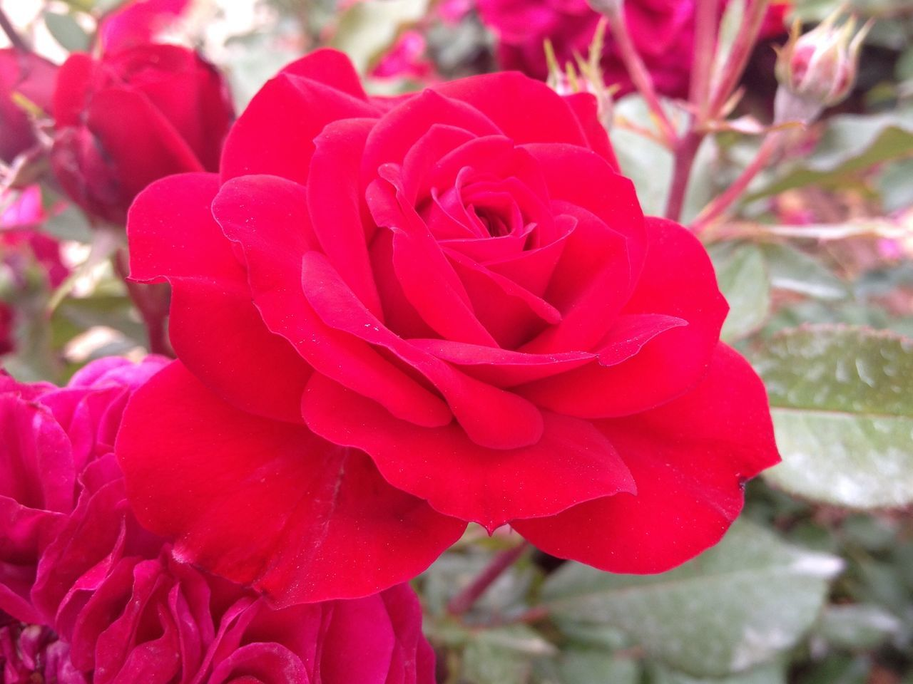 Rose🌹 Flower Petal Nature Beauty In Nature Red Close-up No People