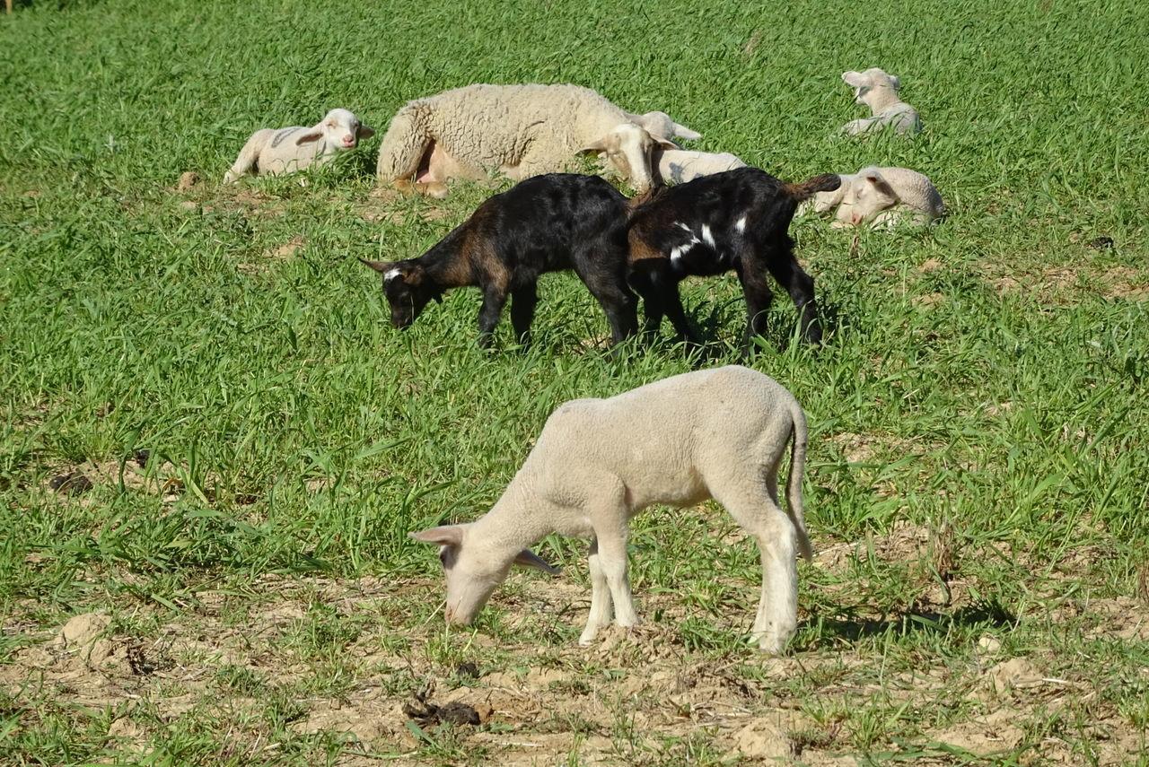 Animal Themes Young Animal Nature Agneaux Animaux ❤️ Brebis Moutons Chevreau Chèvres