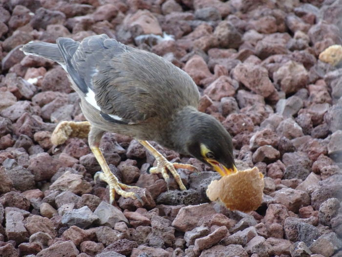 Common Mynah series (3) Acridotheres Tristis Indian Myna Birds EyeEm Birds