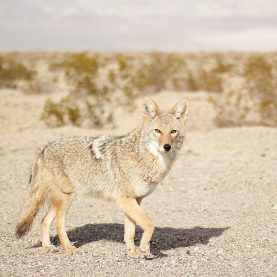 Beautiful stock photos of coyote, Animal Themes, Animal Wildlife, Animals In The Wild, Canine
