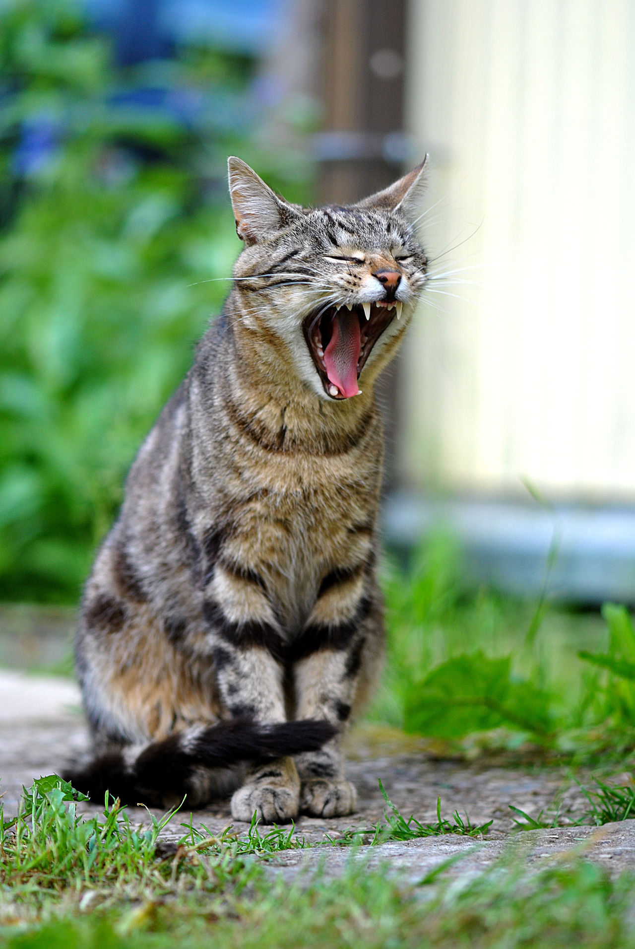 Animal Animal Themes Cat Cats Cats Of EyeEm Cute Cat Cute Cats Day Domestic Animals Domestic Cat EyeEmNewHere Feline Grass Latvia Mammal Mouth Open No People One Animal Outdoors Pets Tabby Cat The Baltics The Best Cat Yawning