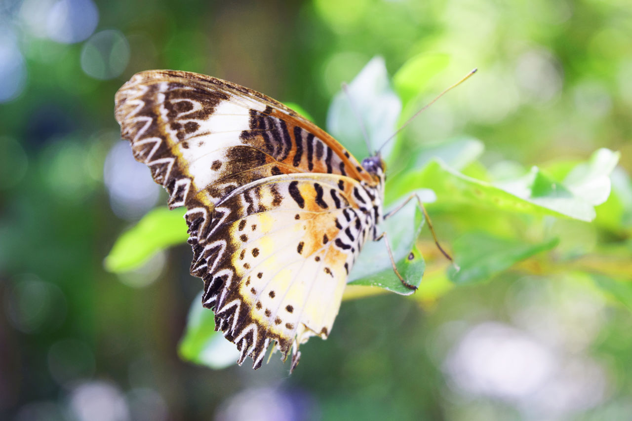 butterfly - insect, insect, one animal, animals in the wild, animal themes, close-up, focus on foreground, nature, butterfly, day, outdoors, no people, plant, animal wildlife, fragility, beauty in nature, animal markings, pollination, freshness, spread wings, flower head