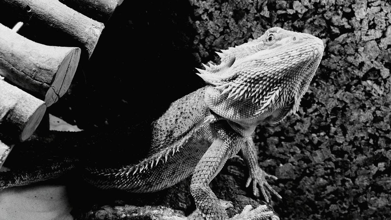 Pogona Barbu Repile Bearbed Dragon Terrarium Pogona Nature Animalphotography First Eyeem Photo