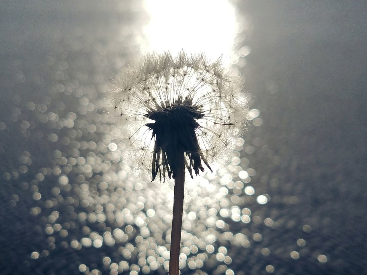 Hello No People Nature Outdoors Bokeh Silhouette Dandelion Close-up Samsung Galaxy S7 Edge Plant Android Photography EyeEm Best Shots EyeEm Fragility Tranquility