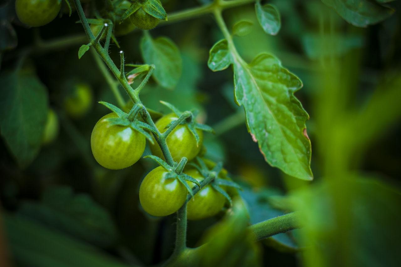 Growth Huerta Huertas Jaen Province Jaen Provincia Linares Plant Tomates Tomato Tomatoes Verano