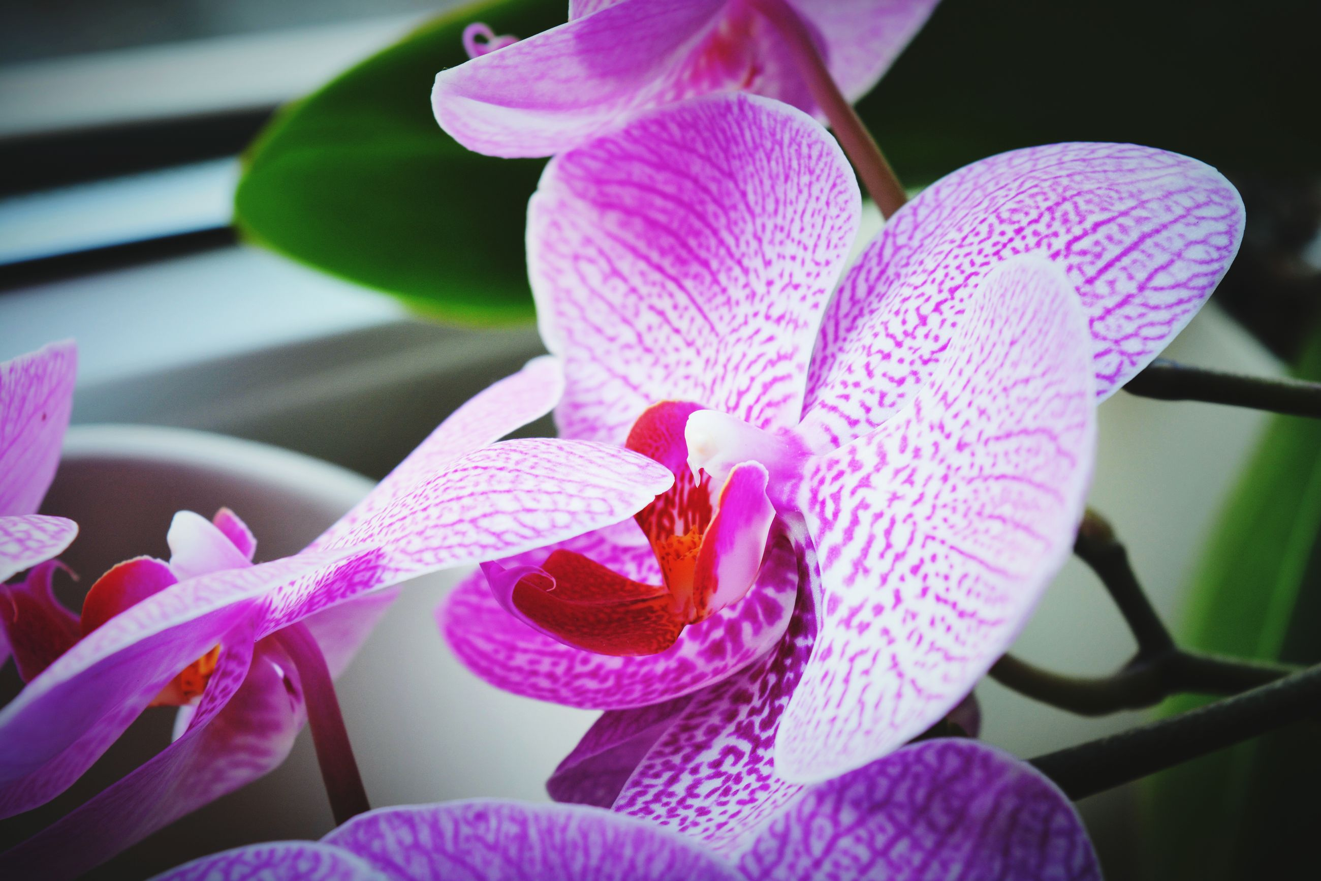flower, petal, fragility, freshness, flower head, close-up, pink color, beauty in nature, growth, purple, nature, focus on foreground, blooming, plant, orchid, in bloom, no people, stamen, pollen, single flower