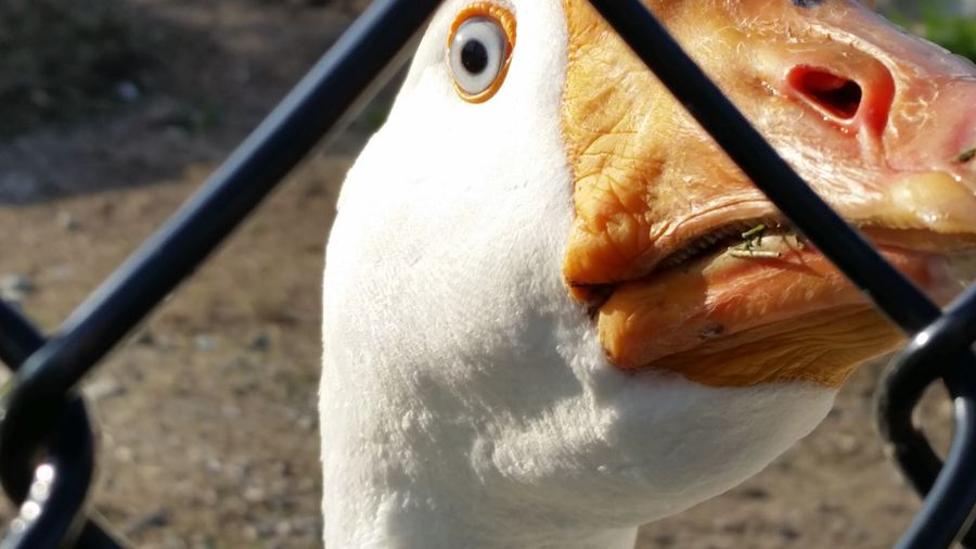 Whaddaya lookin' at?! Close-up No People One Animal Day Outdoors Water Freshness Animal Themes FUNNY ANIMALS Geese Geese Photography Geese Comedy Goose Close-up Goose Silly Goose Humor Intense Intensity Angry Bird Staring Staring At Me Staring Contest Nosy Nosy Goose