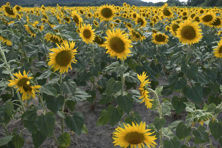 Field of Sunflowers under the sunshine 43 Golden Moments Beauty In Nature Blooming Flower Flowers Flowers,Plants & Garden Fragility Freshness Grainedenature Grainedephotographe Growth Nature No People Plant Seed Color Palette Sonnenblumen Sunflower Sunflowers Tournesol Tournesols Yellow Yellow Flower Yellow Flowers Macro