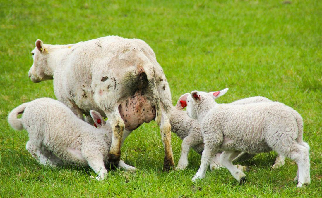 Animal Babies Baby Sheep BreastfeedingIsNatural Dynamic Family Feeding  Field Following Grassy Green Green Color Lamb Livestock Mammal Medow Run Running Sheep Sheeps Young Animal