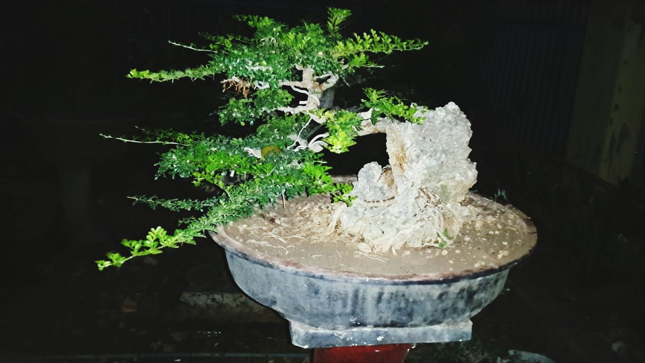 My Bonsai Natural Bonsai Exotic Bonsai Bonsai Tree