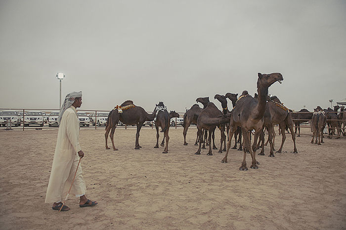 Camel Beauty Competition Arabic Camels Casual Clothing Day Event Leisure Activity Lifestyles Location Mammal Medium Group Of People Middle East Middle Eastern Outdoors Saudi Arabia Sky Tradition UAE