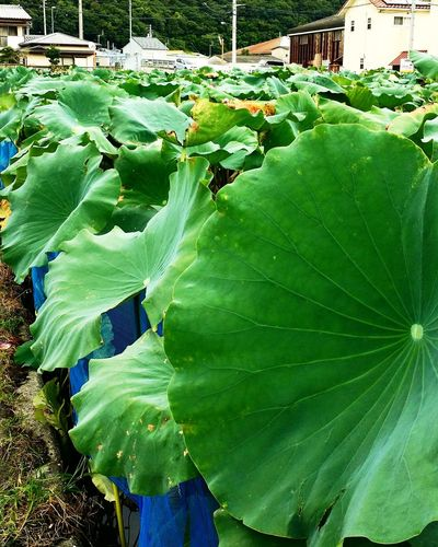 Lotus Green Color Nature Outdoors