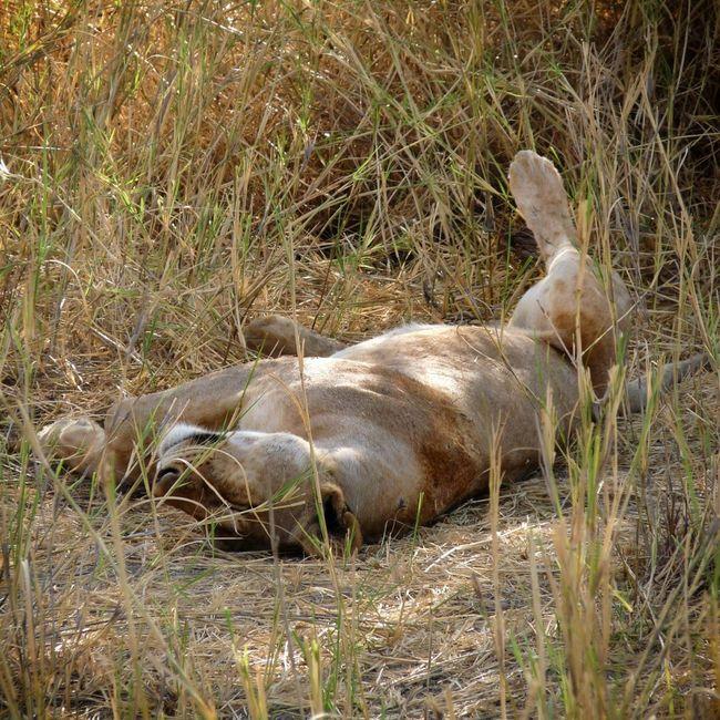 """I feel good !!"" (Tanzania) Nature Animals Enjoying Nature Wildlife Africa Lion Naturelovers EyeEm Nature Lover"