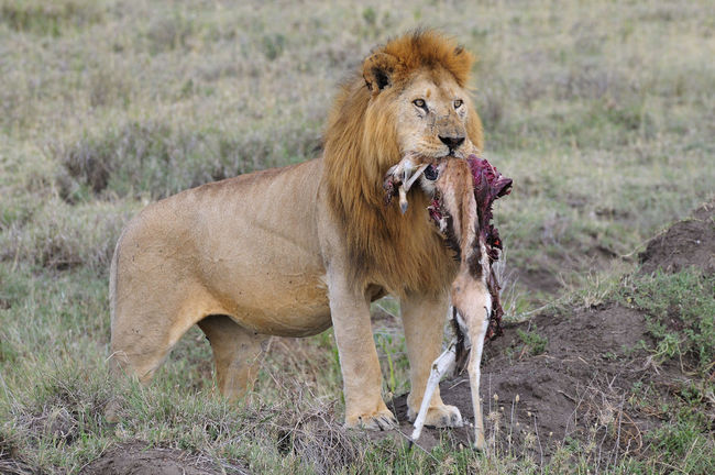 Lion standing with a prey Animals In The Wild Gazelle Lion Nature Prey Safari Safari Animals Wildlife