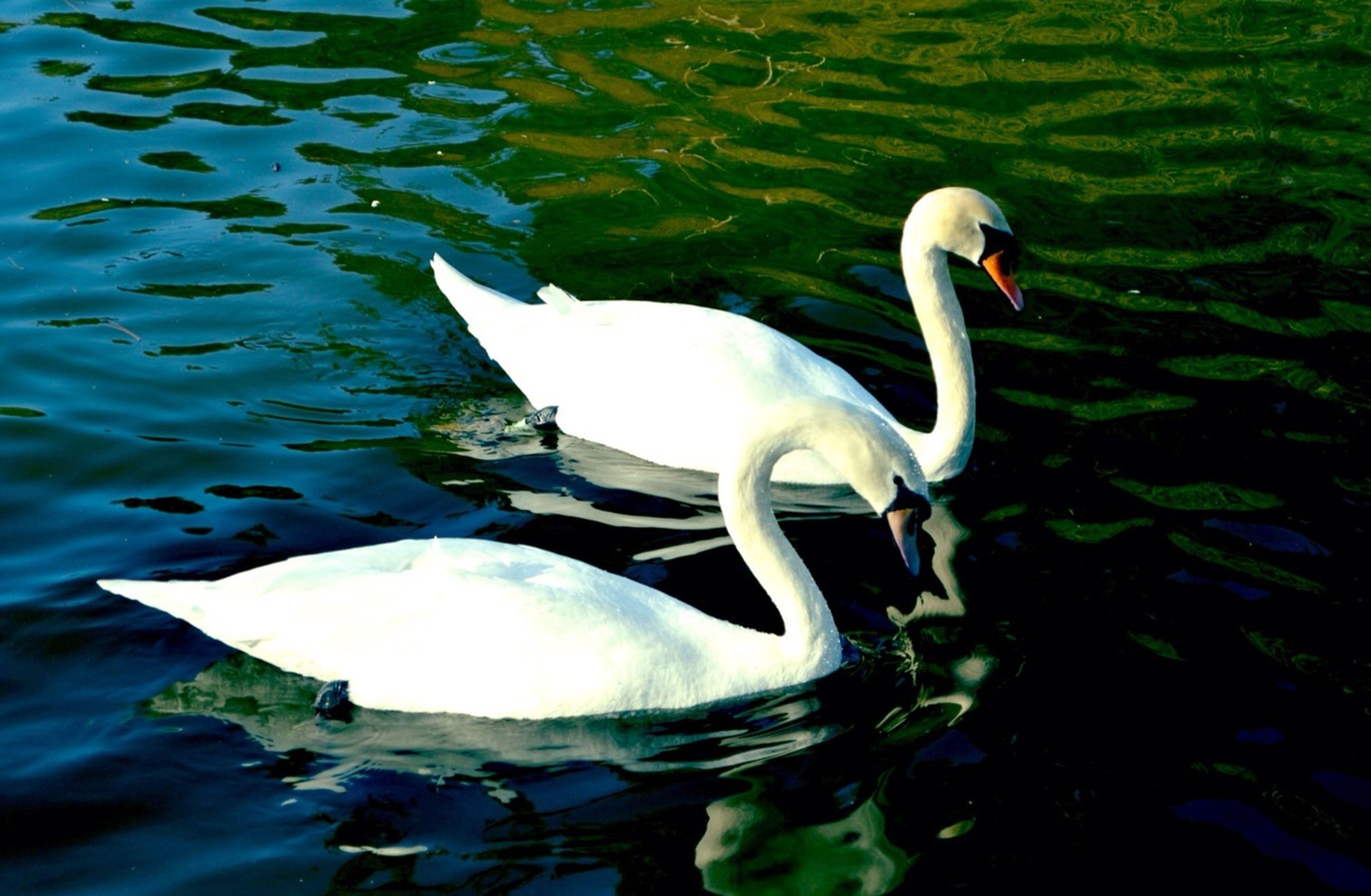 Nature Beautiful Swans Wildlife