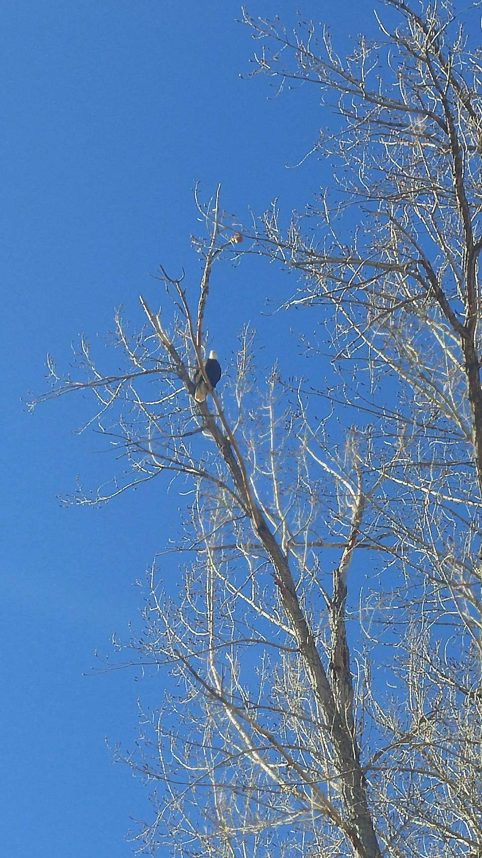 Saw this pretty Bald Eagle yesterday Sky Blue Nature Close-up Clear Sky Beauty In Nature Tree Outdoors EaglesNATION Bald Eagles Central Oregon