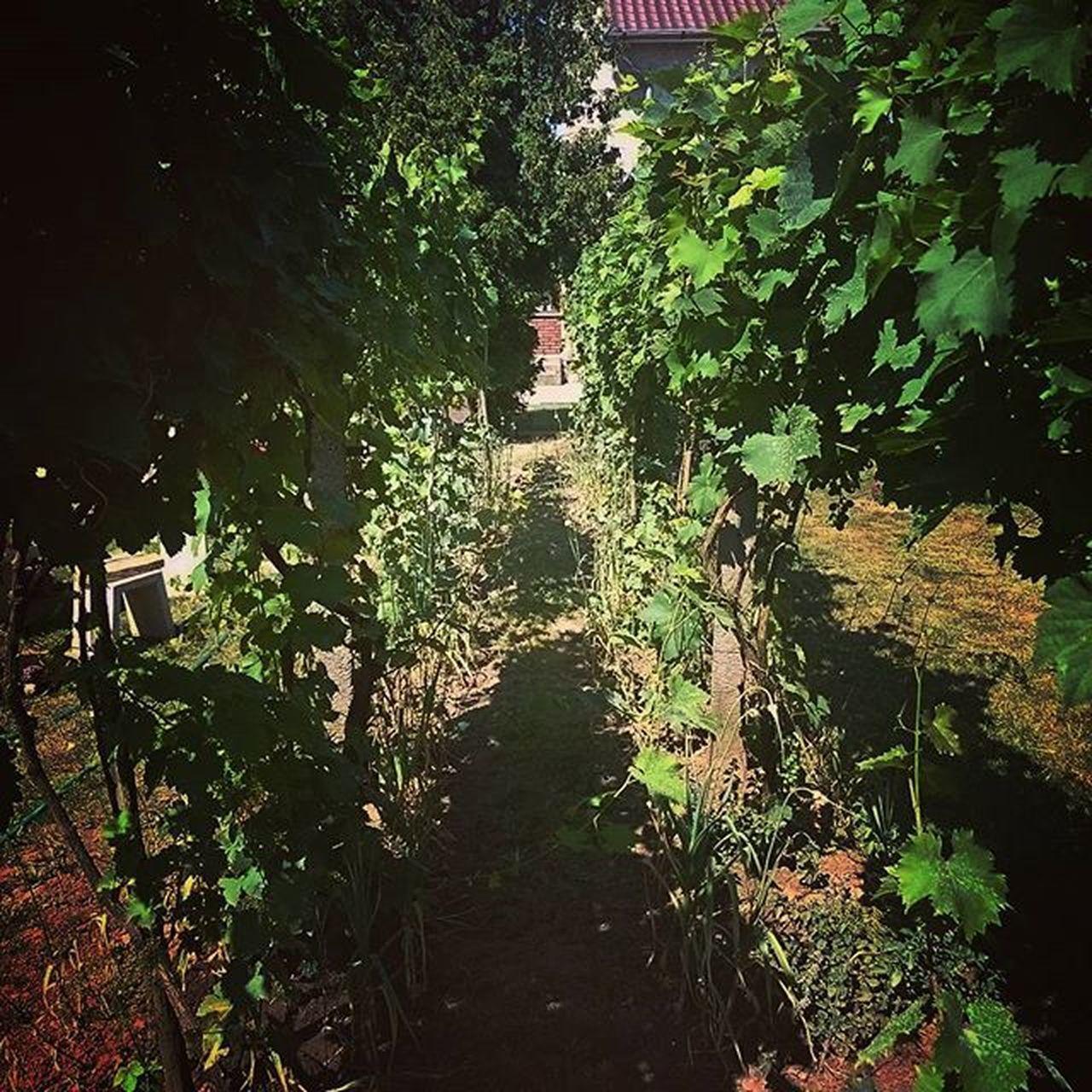 Our little Wineyard Backyard Grapes Green Summertime Hungary Homesweethome Nature Garden Mediterran Feeling Mik Ikozosseg Ig_hun Instahun Instagardenlovers Country