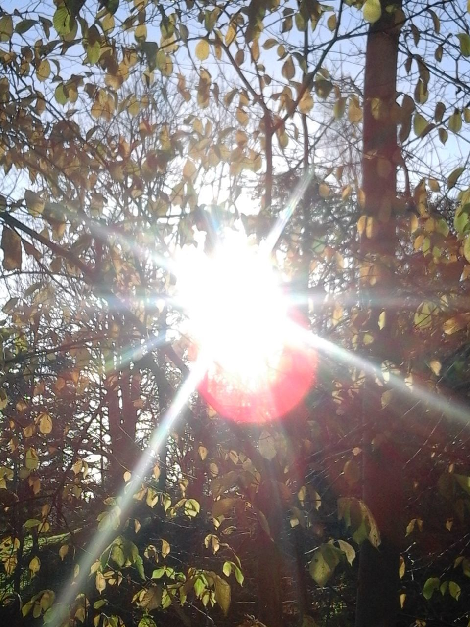 lens flare, tree, sunbeam, sunlight, nature, sun, leaf, growth, day, beauty in nature, outdoors, branch, low angle view, no people, shiny, forest, plant, fragility, freshness