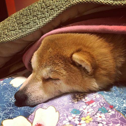 杏 しばいぬ Shibainu Dog こたつで寝るの好き