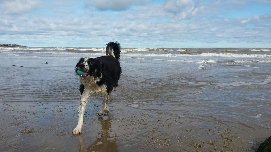 Summer Dogs Border Collie Petslife Low Tide Dogtired, Border Collie, Woods Walkies Water dogs, ball games