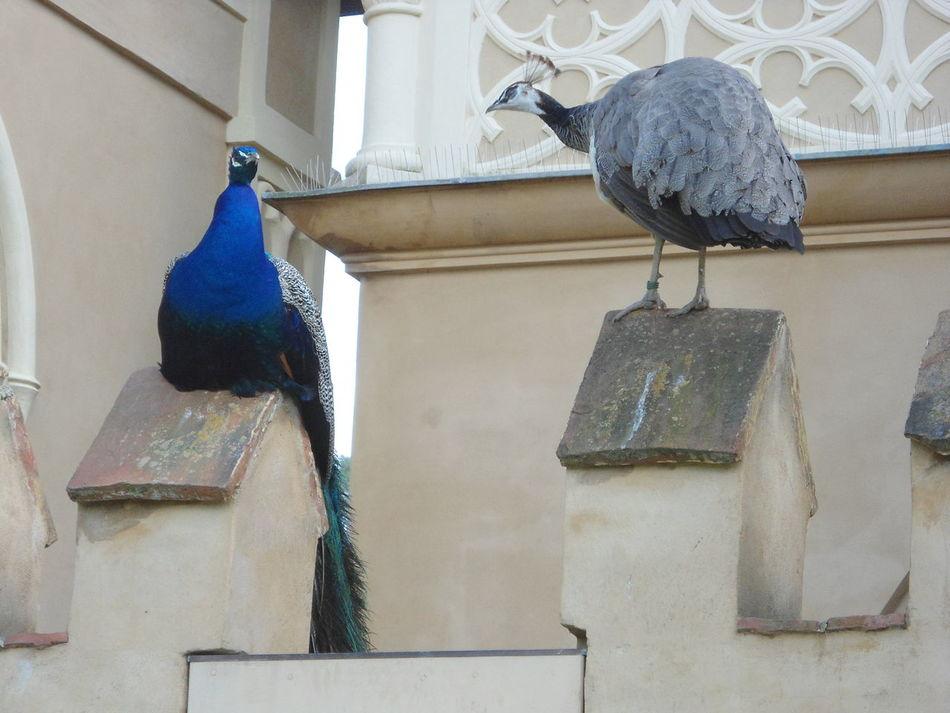 Peacock Bird Animal Themes Building Exterior Architecture No People Day Wörlitz Wörlitzer Park
