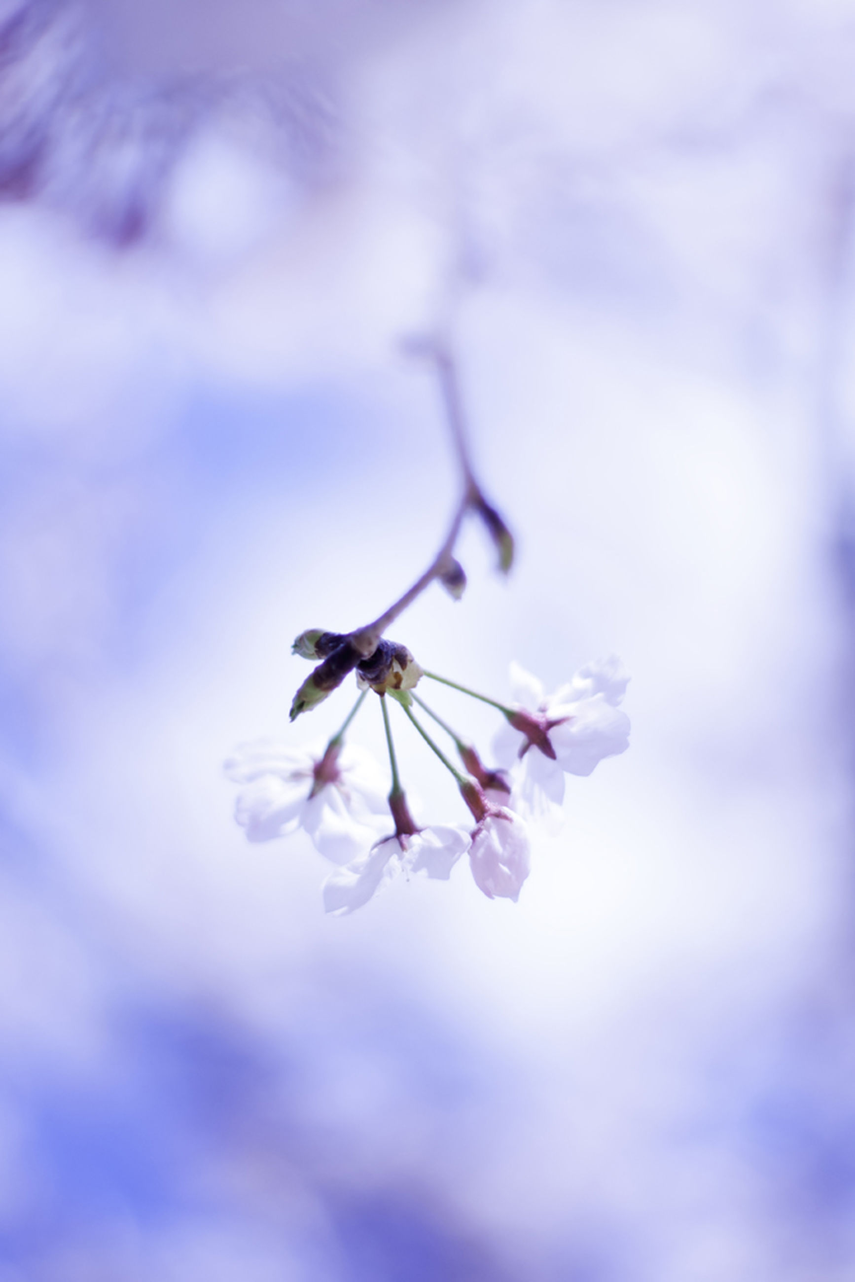flower, fragility, freshness, focus on foreground, beauty in nature, growth, nature, close-up, petal, branch, selective focus, twig, low angle view, in bloom, blossom, purple, day, cherry blossom, tree, outdoors