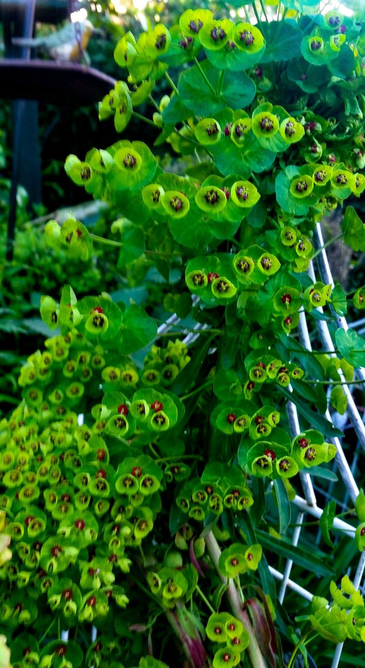 Euphorbia Green Color Growth Plant Nature Garden Flowers Freshness No People Outdoors Beauty In Nature Close-up Petal, Petals, Leaf, Leaves, Evening Light EyeEm Nature Lover Countryside Landscape Flowerphotography Still Life Photography Springtime Green Green Green!  Fragility Petal Flower Head Symmetrical Eyem Nature Focus On Foreground