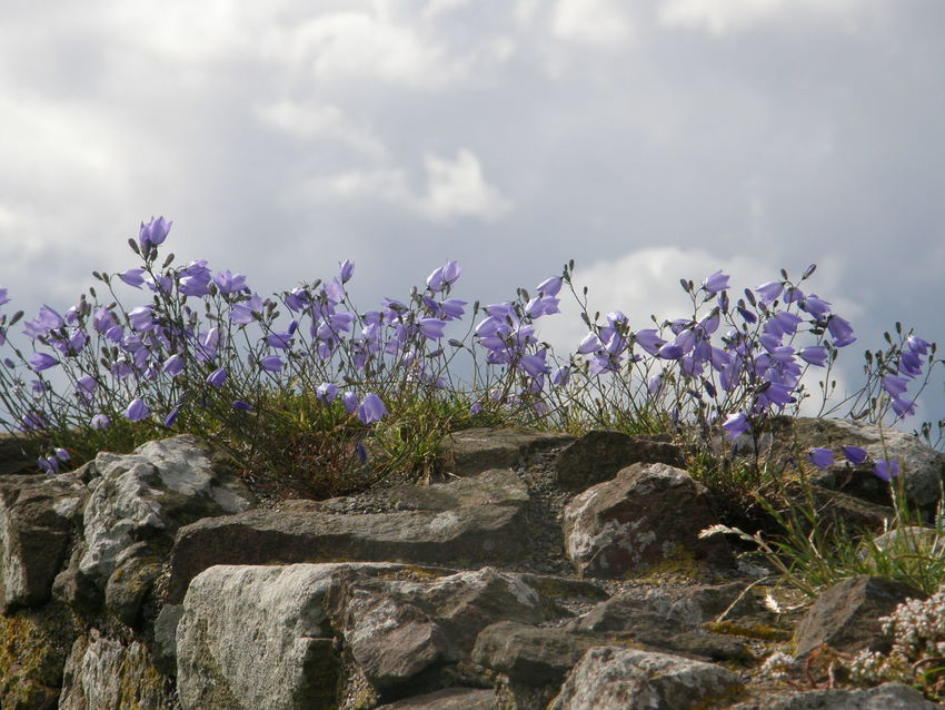 Beauty In Nature Campanula Day Flower Flower On Rocks Fragility Freshness Lilac Flower Mountain Rock Nature No People Outdoors Plant Purple Sky Summer Thin Wildflowers Wildflowers In Bloom Wildlife & Nature