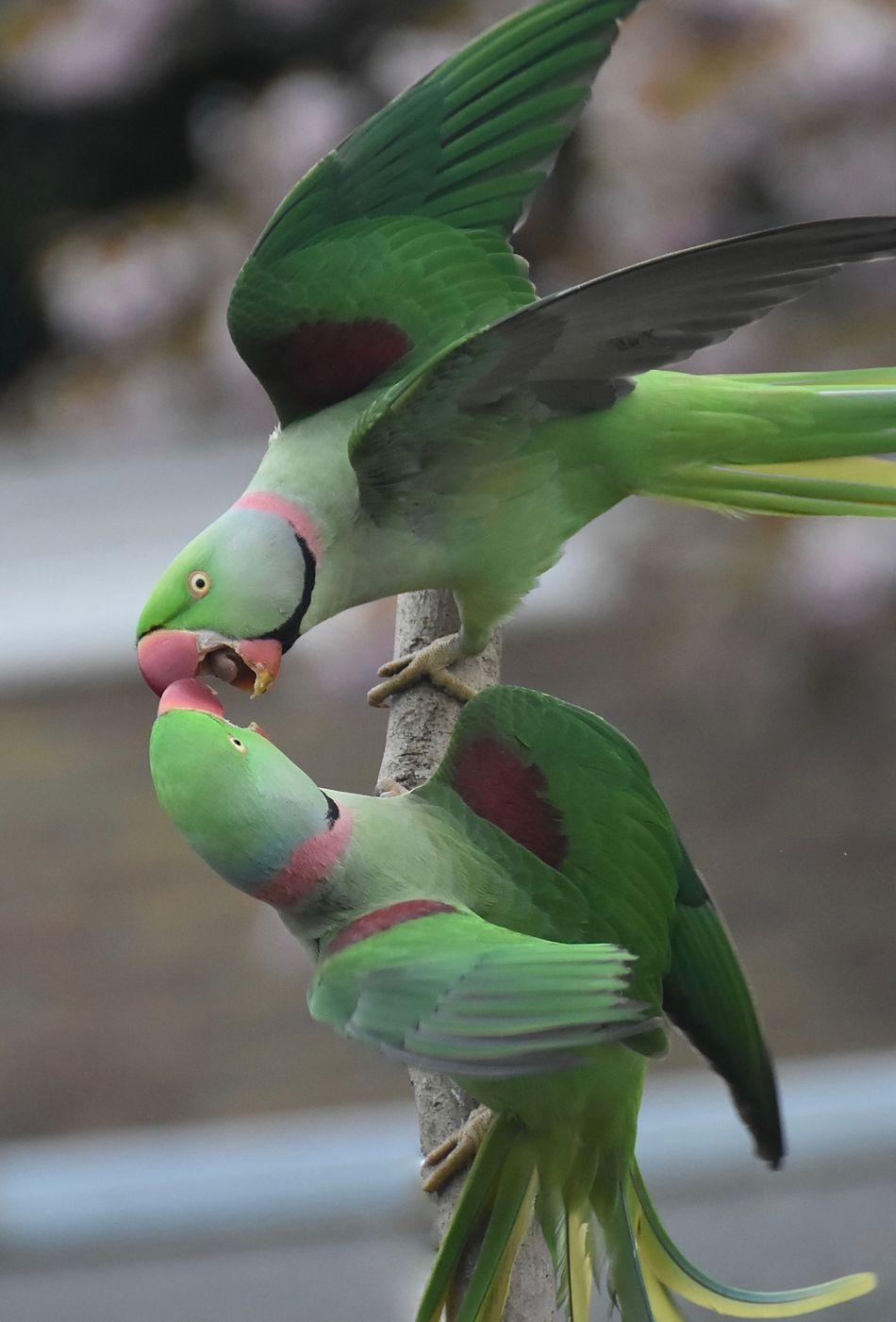 Bird Photography Alexandrian Parakeet Fighting Birds_collection Green Green Green!  Exotic Creatures Nature Photography Urban Nature