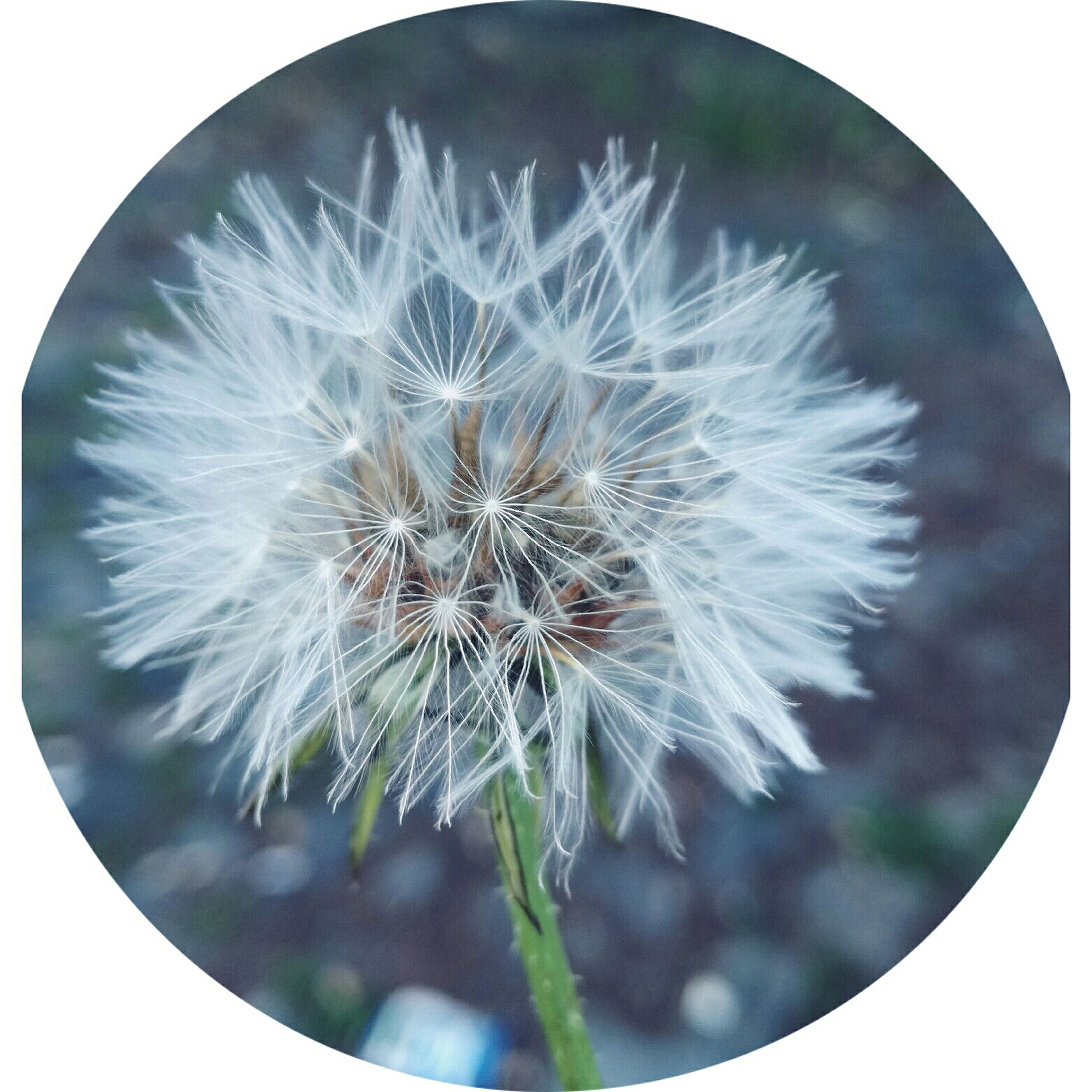 flower, fragility, dandelion, close-up, nature, beauty in nature, flower head, plant, no people, freshness, growth, day, outdoors