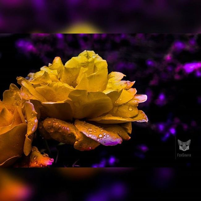 Yellow roses with drops of water after a short rain shower Roses Yellowroses Raindrops Fotografie Salzgitter Naturfoto Naturephotography Lavenderfield Lavendelfeld Photographyislife Photgraphy Macrofoto Makro Regentropfen Regen Lavender Lavendel