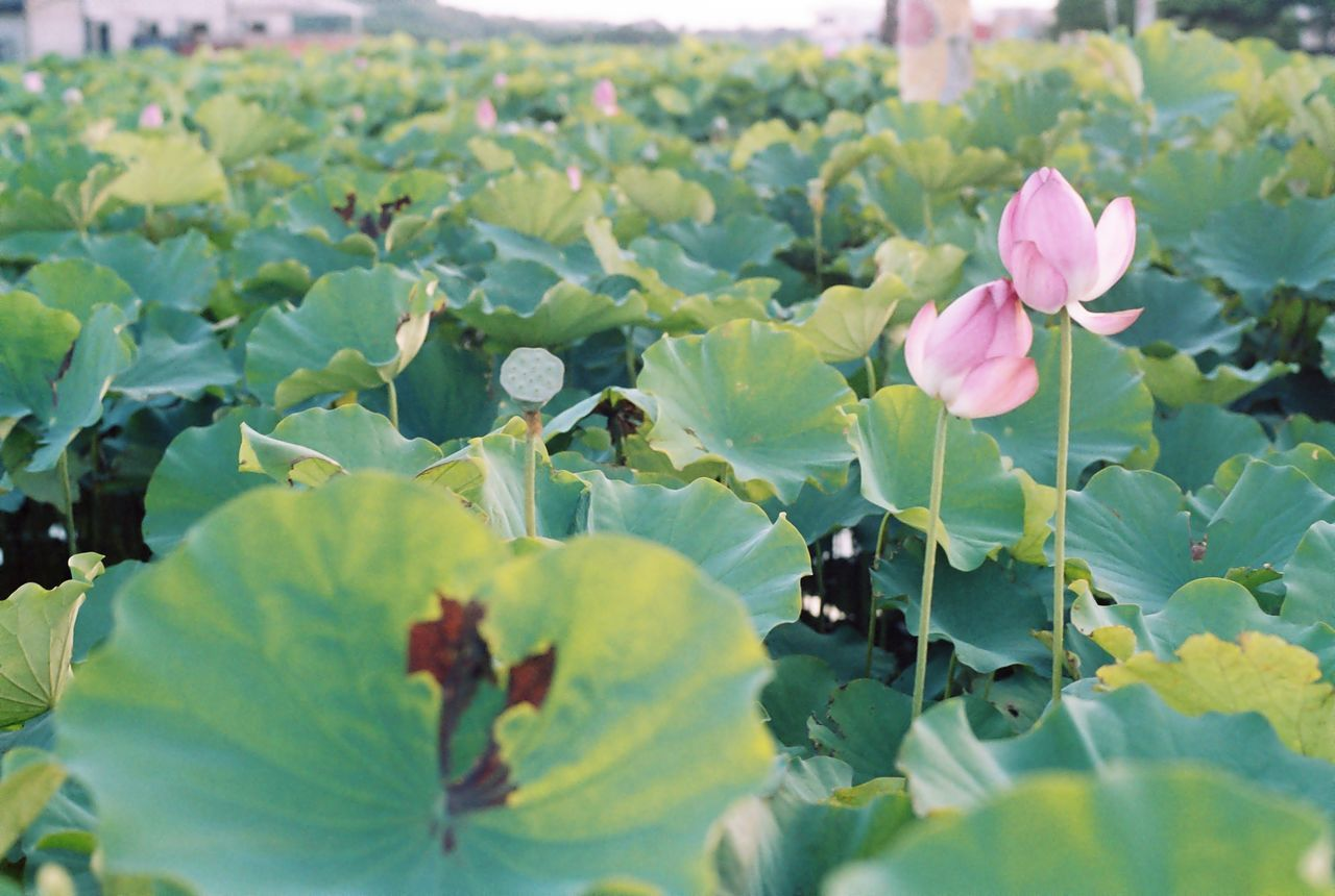 Lotus And Leaves Growing On Pond