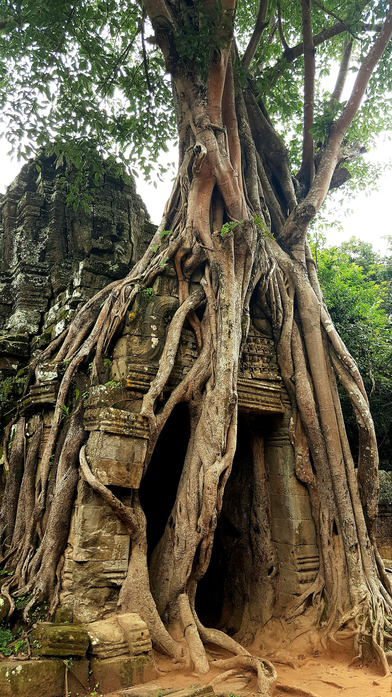 Tree Nature Tree Trunk Outdoors Beauty In Nature Power In Nature Wtf?! Roots Raw Power Growth Travel Destinations Ankor Wat Siem Reap Cambodia