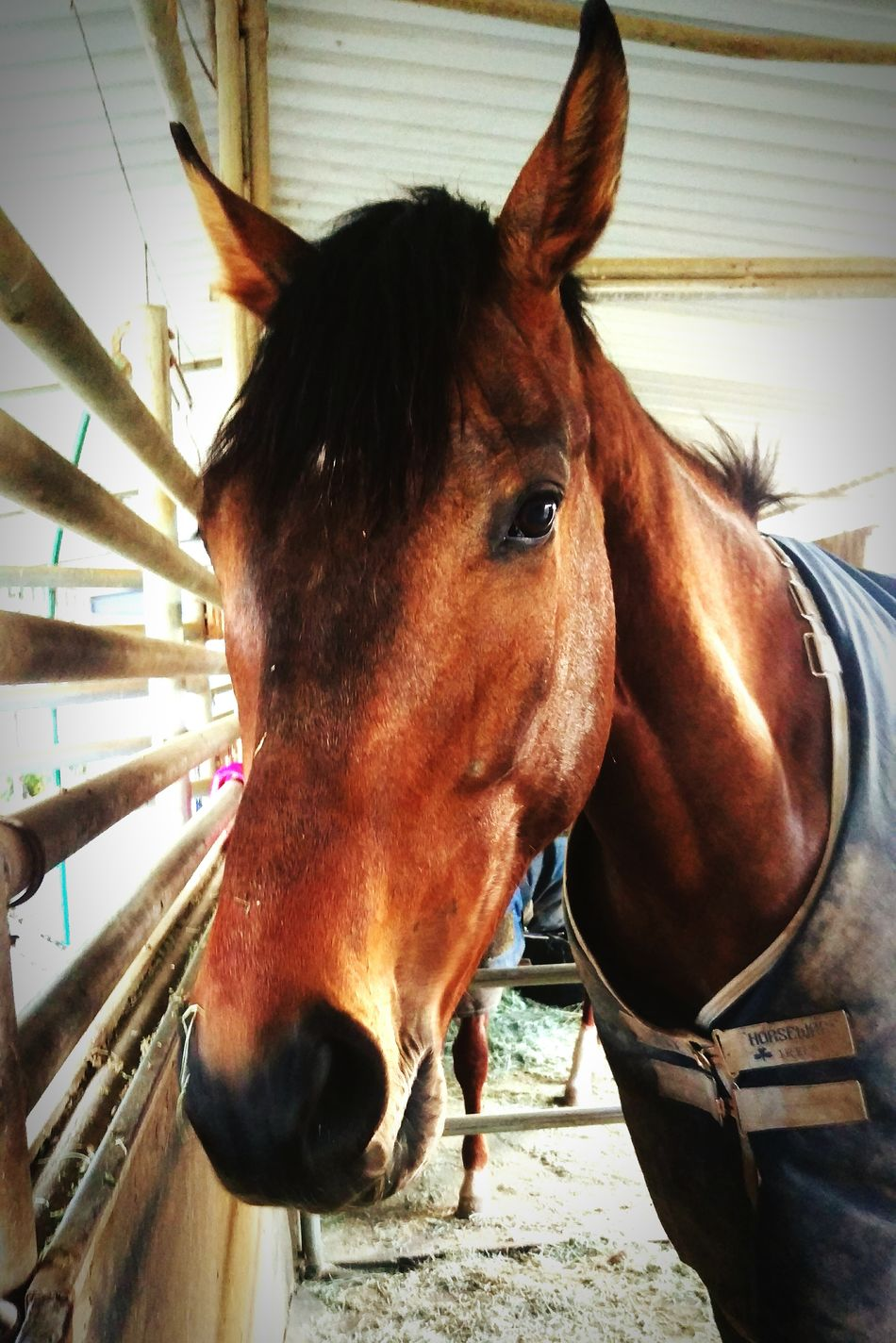 Stud Thouroughbred Horse Race Horse Big Guy Beautiful Animal Four Legged Friend Powerful Friend Long Face Horse Riding Horse Photography  Stables Riding Country Life Equestrian Life Equestrianphotography