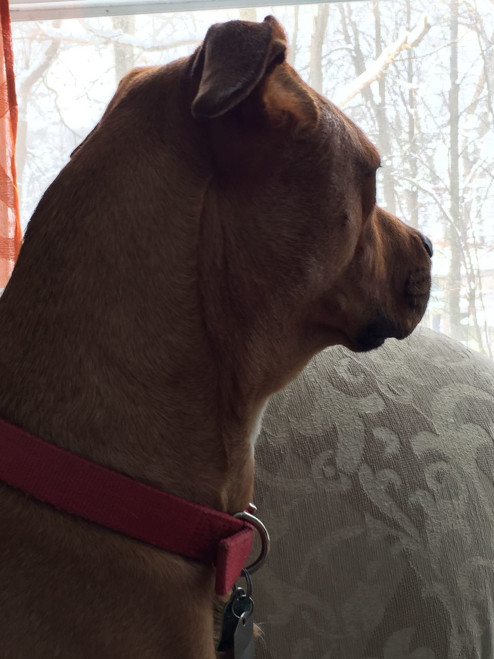domestic animals, mammal, animal themes, one animal, dog, pets, indoors, no people, day, close-up