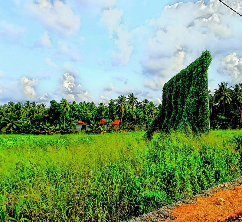 Banner Green Color Growth Nature Cloud - Sky Day No People Outdoors Tree Grass Freshness Beauty In Nature The Great Outdoors - 2017 EyeEm Awards Paddy Field Sand