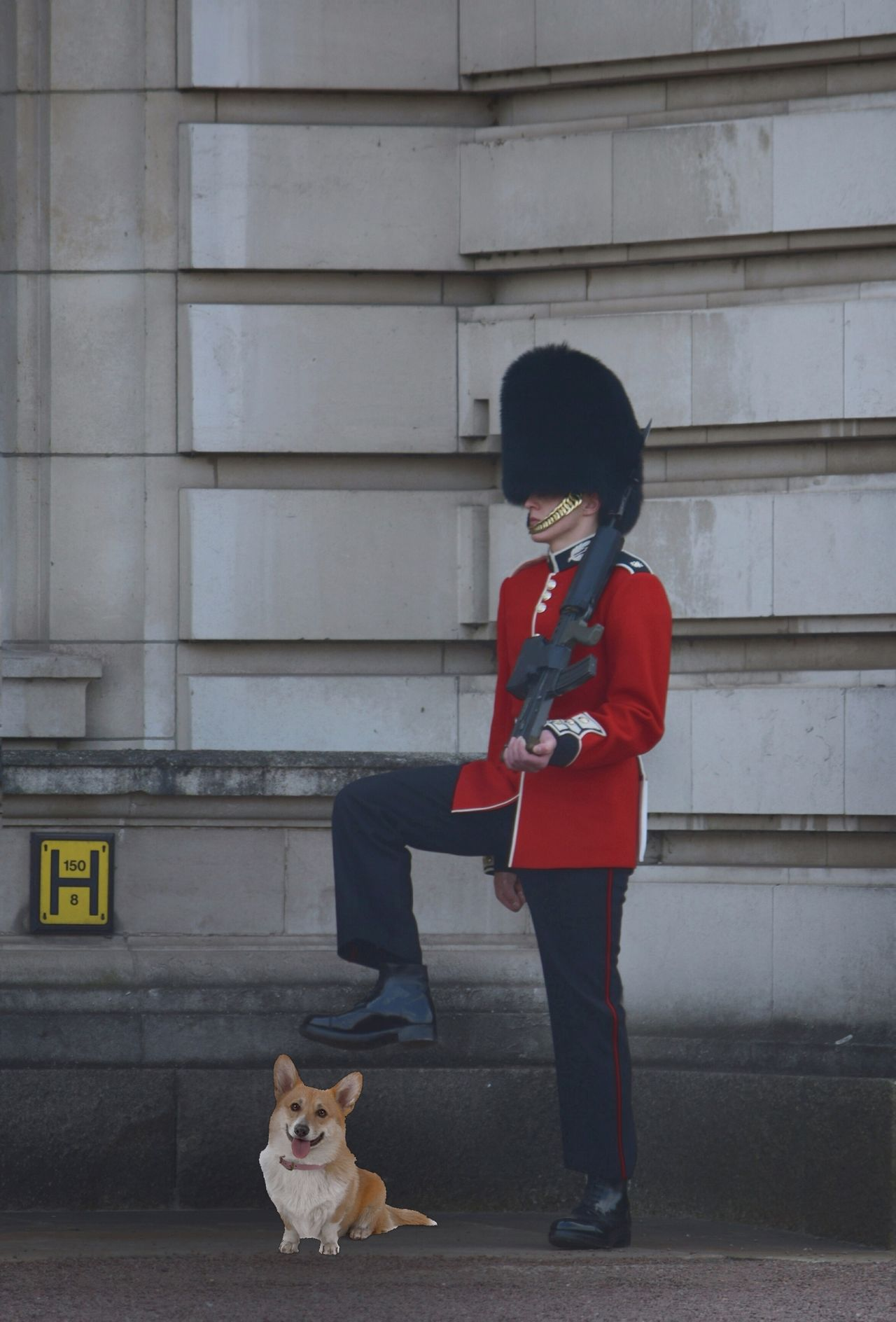 Just For Fun One Animal Corgi Watch Out! Portrait One Person People Buckingham Palace Guard Uniform Red Changing Of The Guard Royal Person Dog OOPS !!! Queens Household Guard Visit London London Military Tradition Cultures Marching Palace Outdoors Men