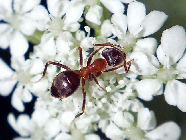 Formica Rufa - Serchio River Arthropod Arthropoda Beauty In Nature Close-up Formica Formicidae Hexapoda Hymenoptera Insect Insecta Nature Outdoors
