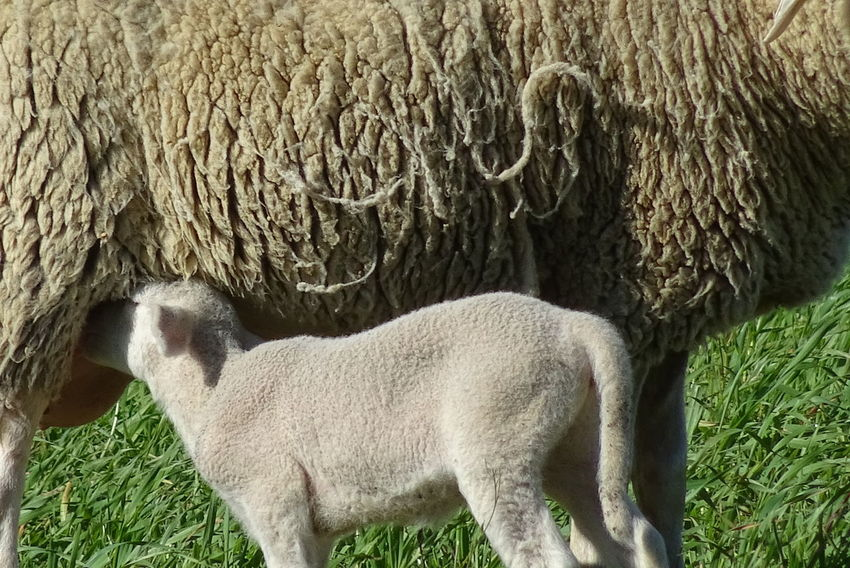 Animal Themes Brebis Agneaux Moutons Animaux ❤️ Young Animal Beauty In Nature Nature