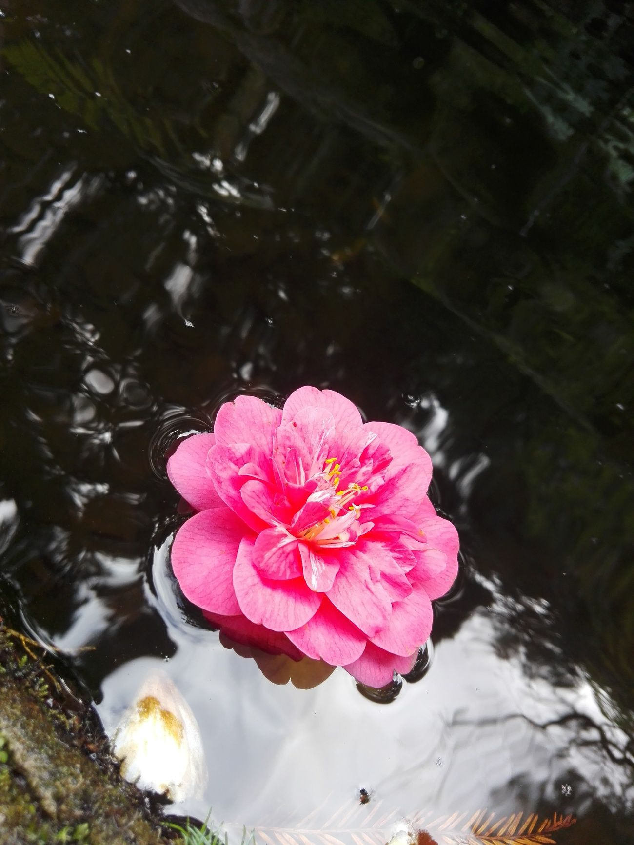 Pink Color Water Nature Beauty In Nature Flower Outdoors No People Fragility