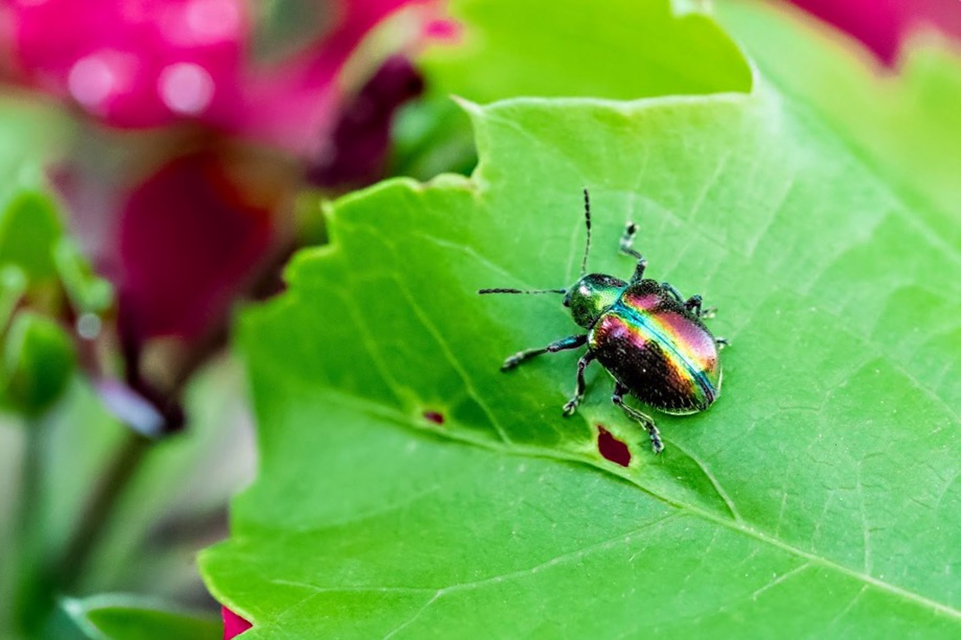 insect, one animal, animals in the wild, animal themes, wildlife, leaf, close-up, green color, focus on foreground, selective focus, plant, nature, two animals, day, ladybug, animal antenna, outdoors, bug, no people, beetle