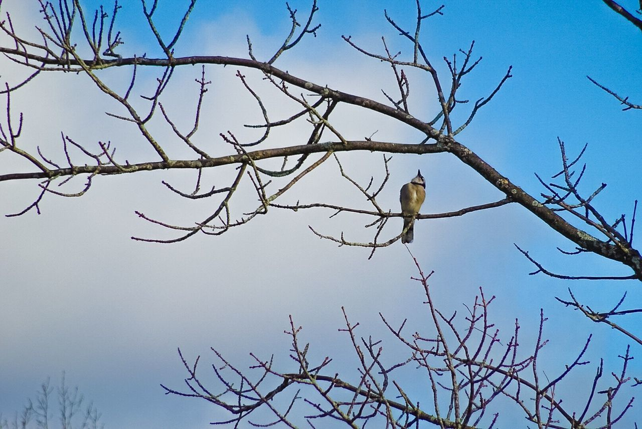 branch, bare tree, tree, bird, animals in the wild, low angle view, animal themes, perching, clear sky, animal wildlife, no people, nature, one animal, sky, day, outdoors, beauty in nature
