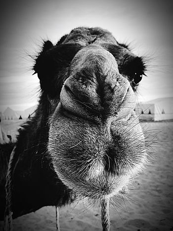 Dromedary Camel Sahara Sahara Desert Desert Morroco Maghreb North Africa Camel Face Eyelashes Funny Faces Animal The Portraitist - 2017 EyeEm Awards The Week On EyeEm