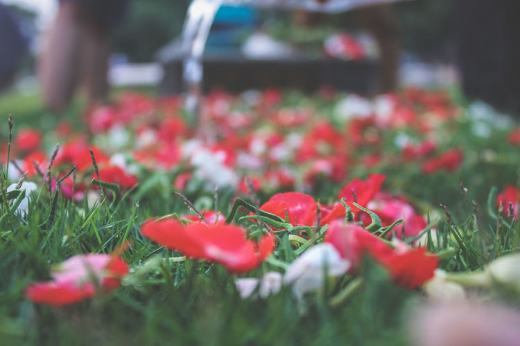 Beauty In Nature Day Flower Flower Head Freshness Grass Mourn Outdoors Plant