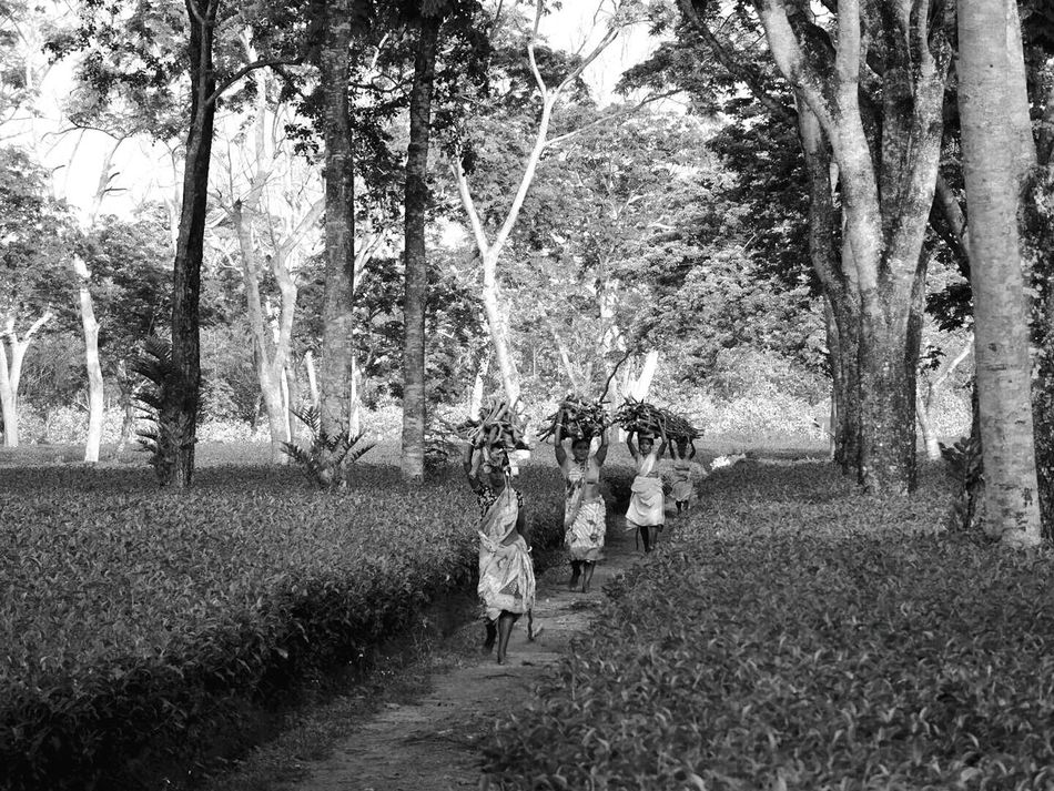 Tree Real People Nature Walking Outdoors Lifestyles People Sky Women Working Women B&W Collections B&w Photography Tea Plantation  Rural Scene Agriculture Growth Cloud - Sky Tranquility