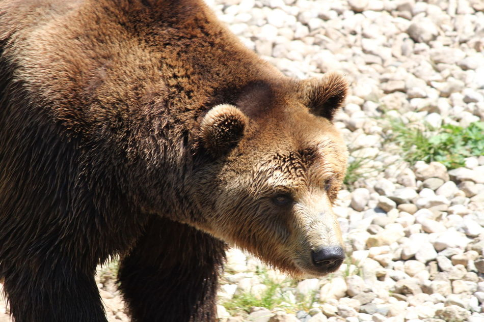 Beautiful stock photos of bear, Animal Themes, Animals In The Wild, Brown Color, Close-up