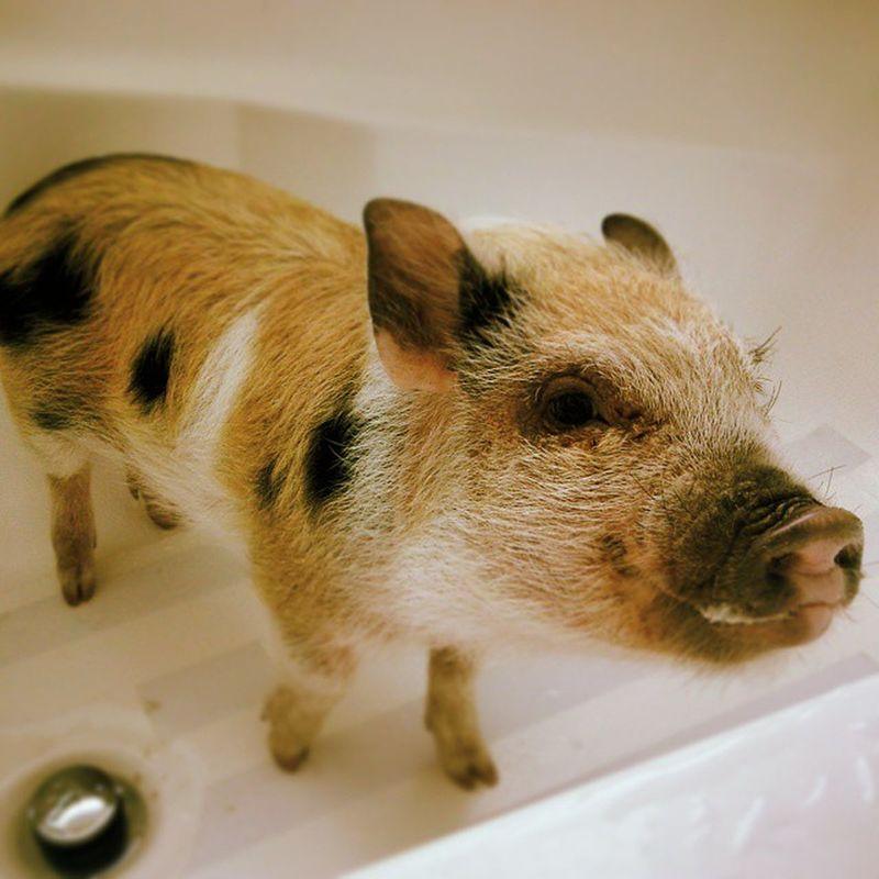 No hay puerquita más limpia:) Minipig Pigs Carnitas Chicharron buche nana surtida puercolimpio bañodepuerco