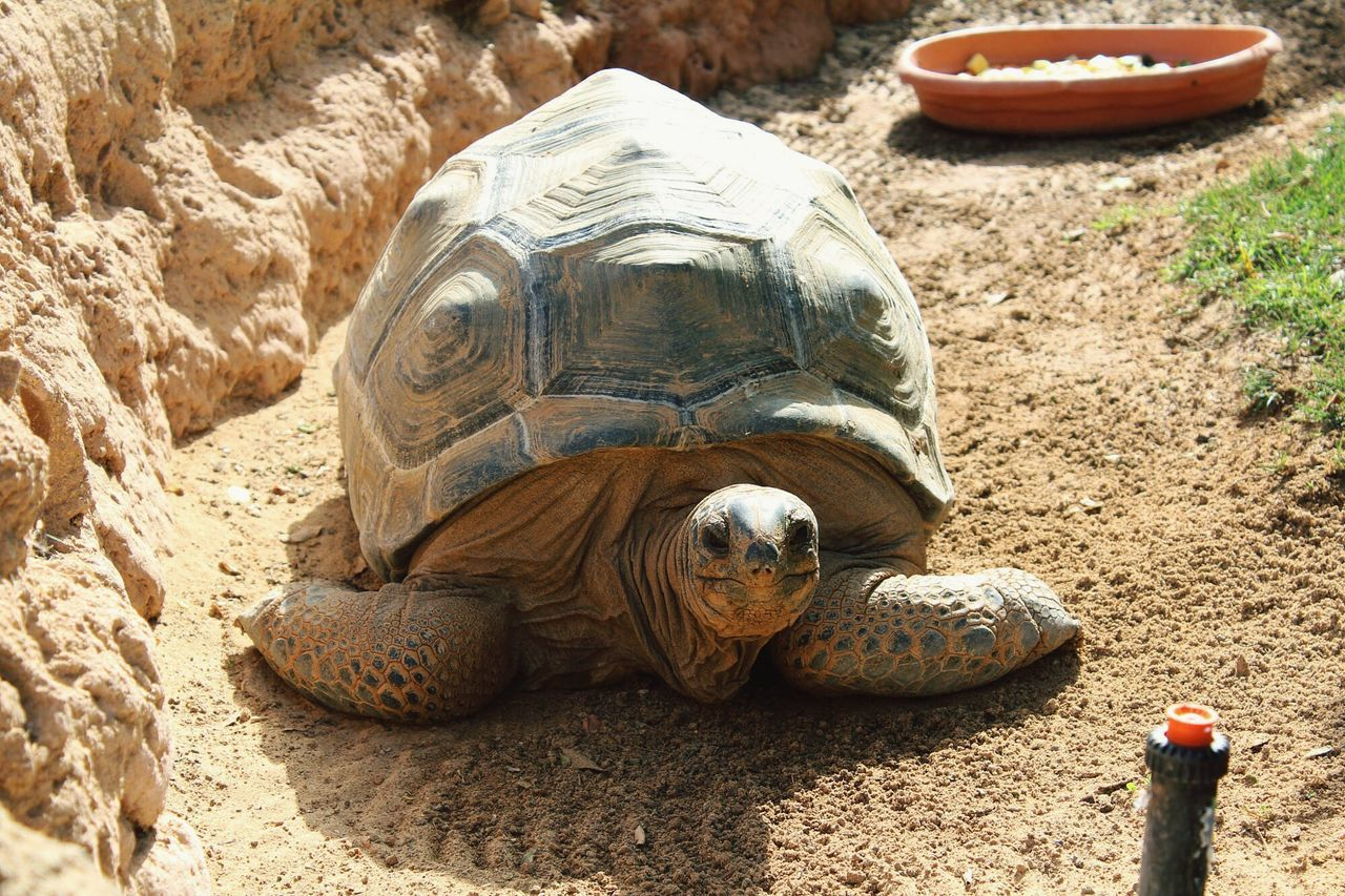 Tortoise Lanzarote One Animal Turtle Animal Shell Outdoors Day Zoology No People Canon Lanzarote Rancho Texas Park Holiday Vacation Family