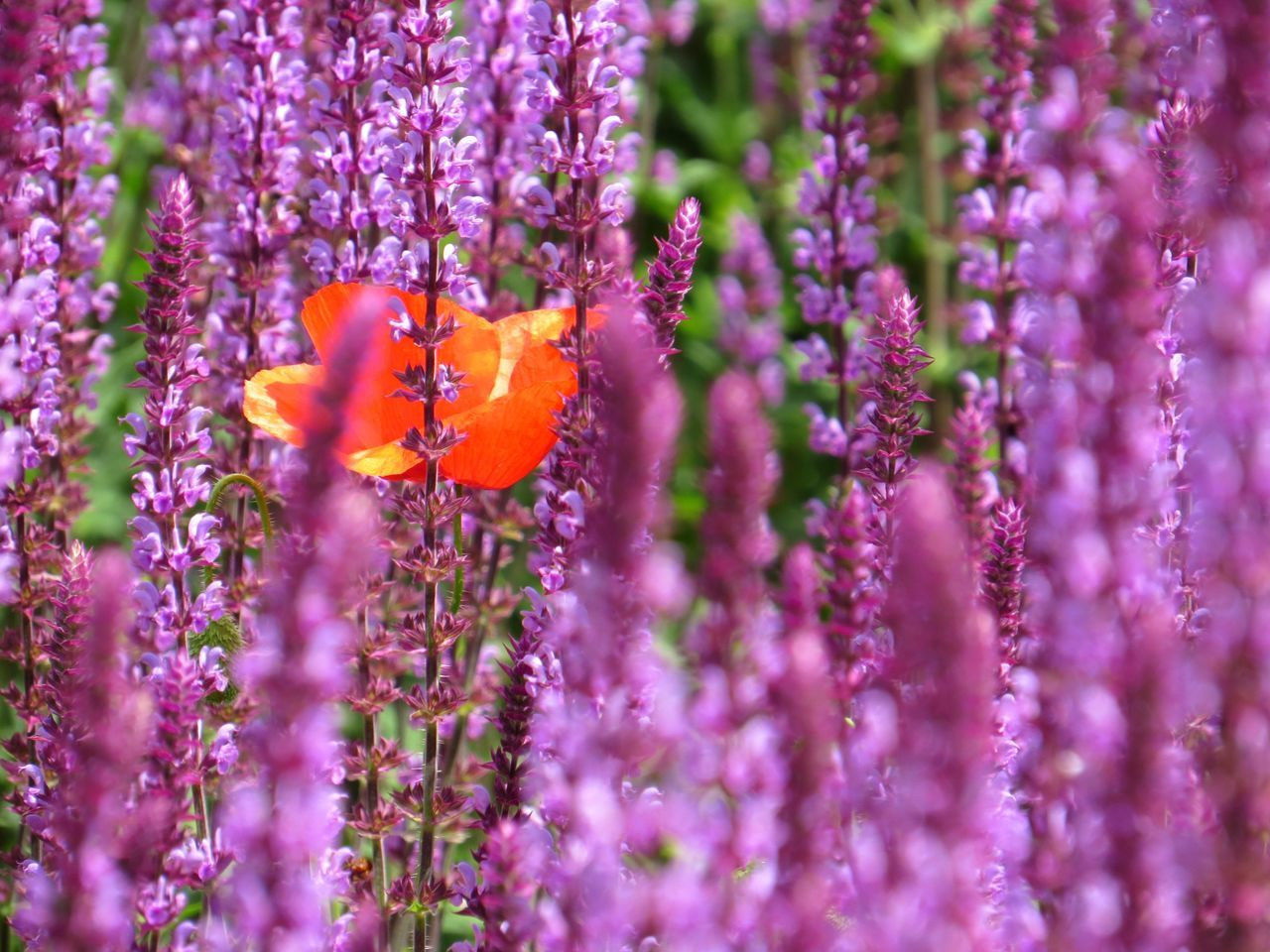 Beauty In Nature Blooming Buzzing Close-up Day Flower Flower Head Fragility Freshness Growth Kew Gardens Lavender Lavender Field Nature No People Outdoors Petal Plant Pollination Poppy Flowers Sunny Day Sunny Day 🌞 Vivid Colours