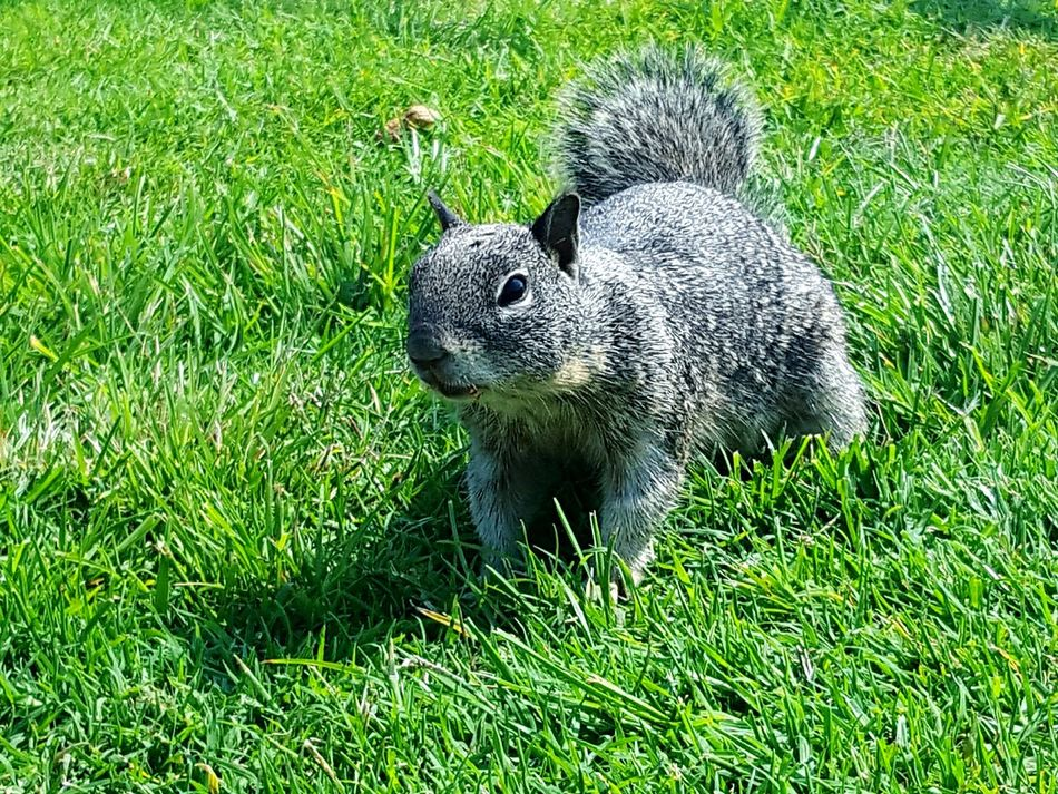 Found A Furry Friend Squirrel Close-up Grassy Animal Photography Nature Furry Friends From My Point Of View Photography Is My Therapy Perspective Eye4photography  Outdoors Sunshine Abundance ForTheLoveOfPhotography Eyeemphotography Eyeemphoto Things You See Squirrels